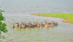 Cervi di Sambhar immagine stock