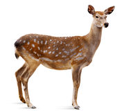 Cervi di Sika, Cervus Giappone Immagine Stock