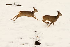 Cervi di uova che corrono nella neve Fotografie Stock