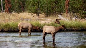 Cervi di Watipu, parco nazionale di Yellowstone, U.S.A. Fotografie Stock
