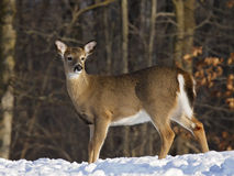 Cervi di Whitetail Immagine Stock