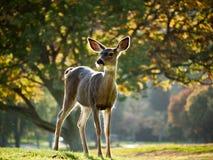 Cervi di Whitetail attenti Fotografie Stock