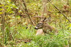 Cervi di Whitetail Buck Fall Rut Bedded Fotografie Stock