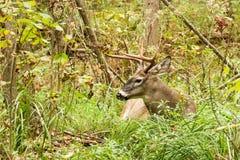 Cervi di Whitetail Buck Fall Rut Bedded Fotografie Stock
