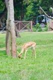 Cervi di Whitetail che mangiano erba Immagine Stock Libera da Diritti