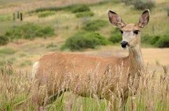 Cervi di Whitetail - daina Fotografie Stock