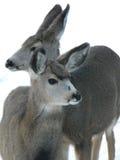 Cervi di Whitetail di Colorado e più vecchio Fawn Immagini Stock Libere da Diritti