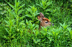 Cervi di Whitetail Fawn Hiding in erba alta (scenetta) Immagine Stock