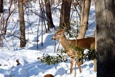 Cervi di Whitetail in inverno Fotografia Stock Libera da Diritti