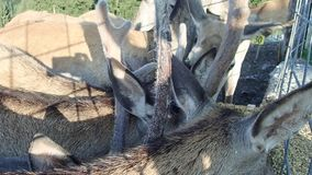 Cervi domestici che mangiano in un'azienda agricola stock footage