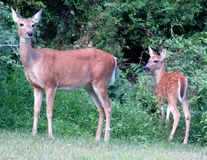 Cervi e fawn fotografia stock