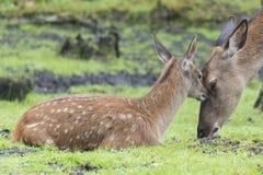 Cervi e fawn Fotografie Stock Libere da Diritti