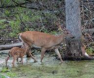 Cervi e fawn della madre Fotografia Stock