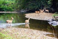 Cervi e hinds che camminano attraverso l'acqua alla foresta Immagini Stock