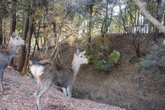 Cervi e il TodaiJi famoso e storico in Nara Park immagine stock