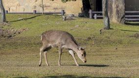 Cervi e il TodaiJi famoso e storico in Nara Park immagini stock libere da diritti