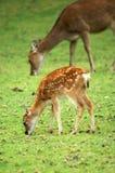 Cervi e mamma del bambino Fotografia Stock