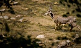 Cervi in fiume Fotografia Stock Libera da Diritti
