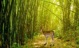 Cervi in foresta di bambù Fotografie Stock