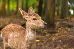 Cervi Giappone di Nara fotografia stock