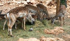 Cervi in giardino zoologico Fotografia Stock