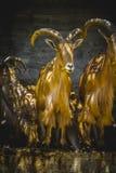Cervi, gruppo di stambecchi, mammiferi della famiglia con i grandi corni Immagine Stock