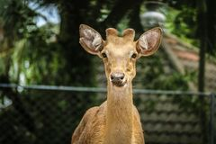 cervi macchiati allo zoo Fotografia Stock