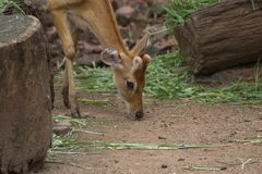 Cervi macchiati che pascono sul campo nella giungla, zoo, asse, Wildlif fotografia stock