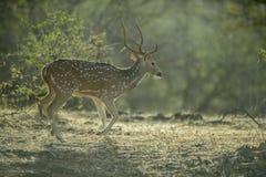Cervi macchiati indiano Fotografie Stock Libere da Diritti