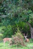 Cervi macchiati in natura Immagini Stock Libere da Diritti