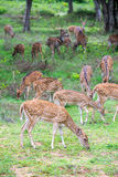 Cervi macchiati in natura Fotografie Stock Libere da Diritti
