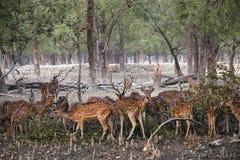Cervi macchiati nel parco nazionale di Sundarbans nel Bangladesh Fotografie Stock Libere da Diritti