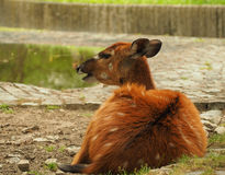 Cervi macchiati selvaggi in parco nazionale Immagine Stock Libera da Diritti