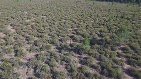 Cervi maschii che corrono nella scorrevolezza, vista aerea video d archivio