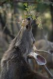 Cervi maschii del sambar che raggiungono per le foglie Fotografia Stock Libera da Diritti