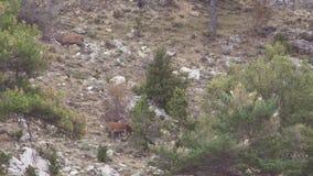 Cervi maschii e femminili nel muggito selvaggio e maschio stock footage