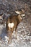 Cervi muli Fotografie Stock Libere da Diritti