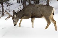 Cervi muli Buck Digging Through Snow Immagini Stock