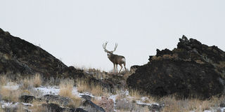 Cervi muli dell'Utah Fotografia Stock Libera da Diritti