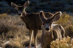 Cervi muli in lampadina fotografia stock libera da diritti