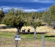 Cervi muli senza il segno di caccia Immagine Stock Libera da Diritti