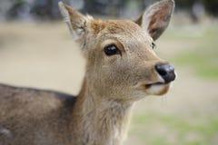 Cervi a Nara, Giappone Fotografia Stock Libera da Diritti