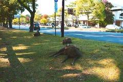 Cervi a Nara, Giappone Immagini Stock Libere da Diritti
