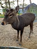 Cervi a Nara, Giappone immagini stock