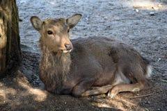 Cervi in Nara Park Immagini Stock Libere da Diritti