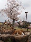 Cervi in Nara Park, Giappone immagini stock libere da diritti