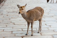 Cervi in Nara Park, Giappone fotografie stock libere da diritti