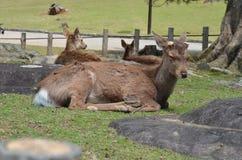 Cervi a Nara Park Japan fotografia stock libera da diritti