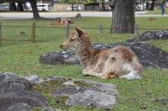 Cervi a Nara Park Japan immagine stock libera da diritti