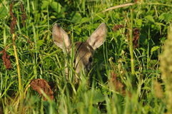 Cervi nascosti nell'erba Immagini Stock
